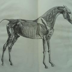 L'anatomie du cheval.