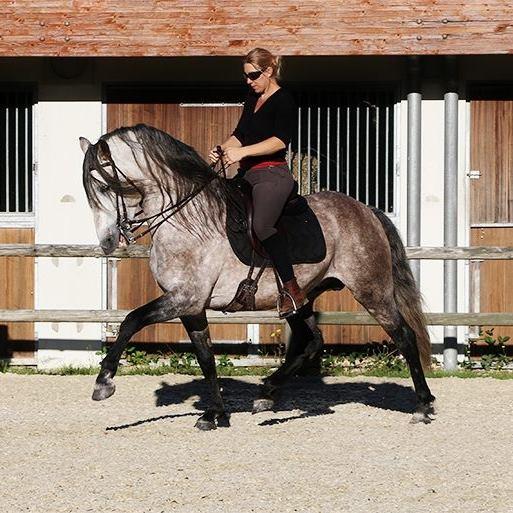 On associe souvent le rassembler à un cheval un peu ratatiné ou un cheval aux allures raccourcies, mais un bon rassembler permet de prendre de l'amplitude tout en conservant un cheval tonique et équilibré dans des allures plus amples.