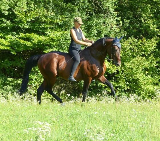 Travail au trot je cherche la poussée vers 'avant avec un cheval bout du nez légèrement en avant et nuque au dessus du garrot.